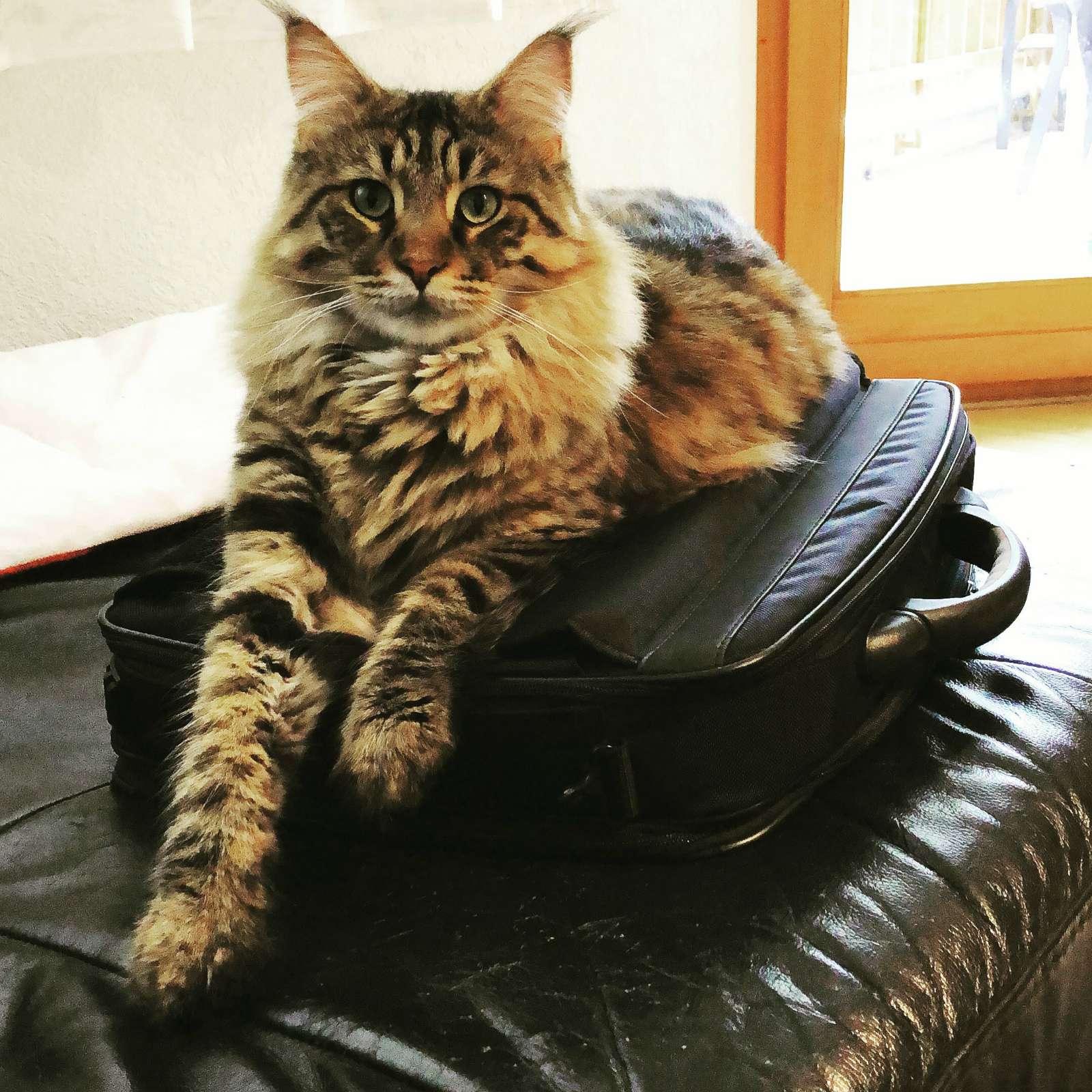 Katze Luis